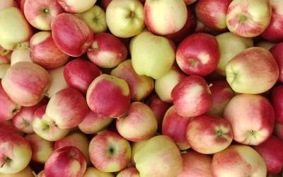 Erntehelfer im Okanagan – Mein Job als Apple Picker